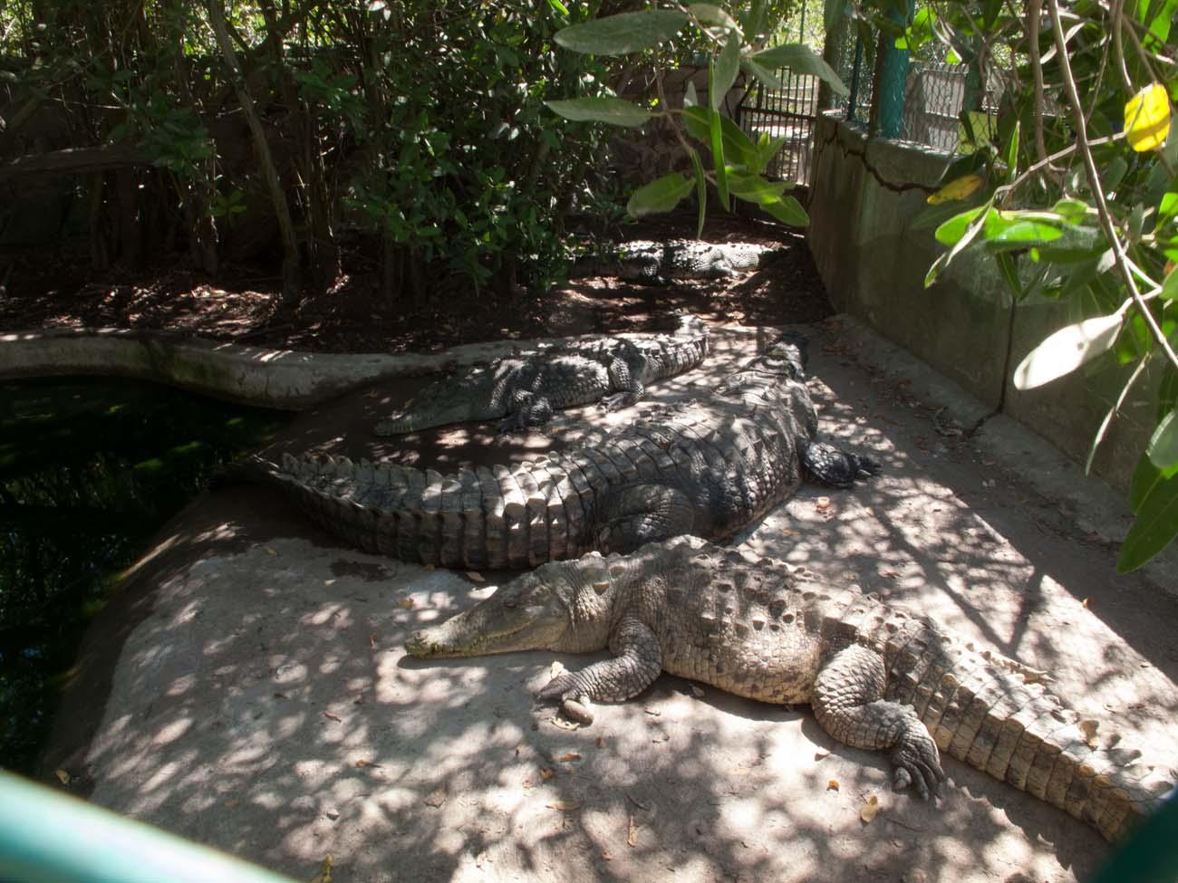Crocodiles-1237