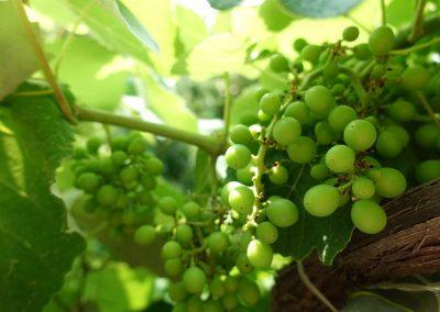 20190619-1023-Sipos-Borhaz-Vineyard